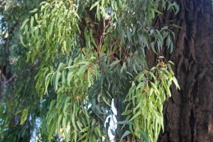 Exploring the controversy of Burlingame's eucalyptus trees