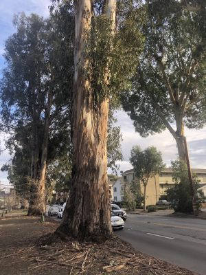 The historic eucalyptus trees on El Camino Real will be removed and replanted in the coming years.
